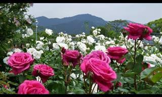 O lindo jardim de rosas de Kayoichou Park, no Japão