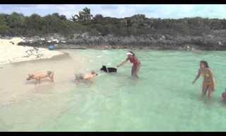 Os Porcos Também Vivem no Caribe!