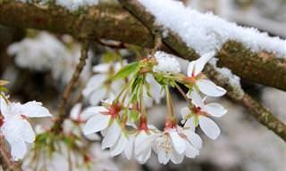 Assista: O esplendor das árvores cerejeiras florescendo