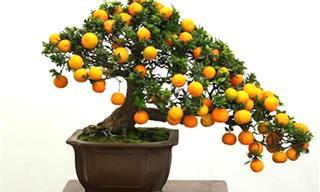 Aprenda a Plantar Pequenas Árvores Bonsais de Frutos em Casa