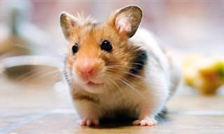 20 Razões para você adotar um hamster (ou mais)