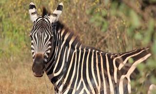 Piada Adulta: Uma Zebrinha Muito Curiosa...
