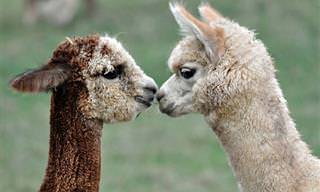 As Alpacas Mais Fofas e Adoráveis da Internet