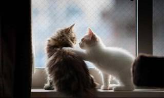 Gatos nostálgicos olhando pelas janelas