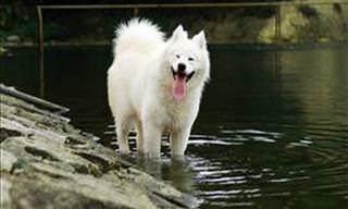O Gentil dos Gigantes: O Fofo Cachorro Samoieda Branco