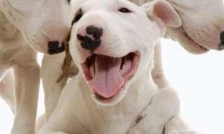 30 Cães Fofos Sorrindo Para a Câmera