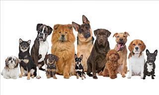Faça o Teste: Se Você Fosse um Cachorro, Qual Seria a Sua Raça?