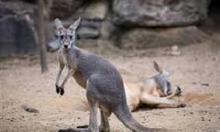 Piada: O canguru do jardim zoológico