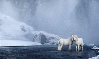 Cavalos Islandeses Que Saíram de Um Conto de Fadas