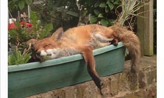 Essas pessoas fizeram amizade com raposas, veja só!