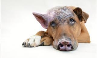 Compilação Adorável: Quando Cães Encontram Porquinhos