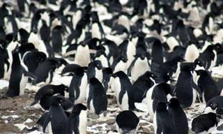 A Imensa Colônia de Pinguins na Ilha do Perigo
