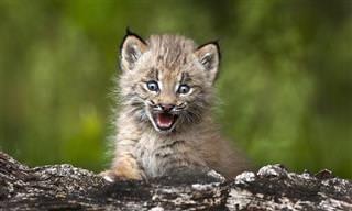 Veja os Bebês Fofos de 10 dos Predadores Mais Temidos