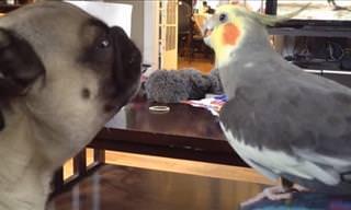 De papagaios a periquitos, estes pássaros amam cantar!