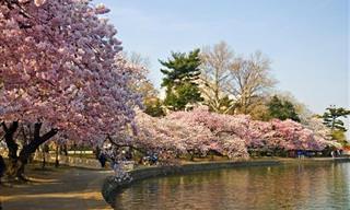 As Cerejeiras em Flor Mais Lindas Que Você Já Viu