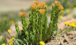 Raiz de Ouro: Veja os Benefícios Saudáveis Dessa Erva Maravilhosa