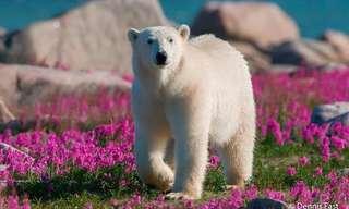 O Veraneio dos Ursos Polares