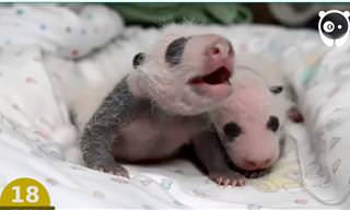 Os primeiros dias de vida de uma panda. É emocionante!