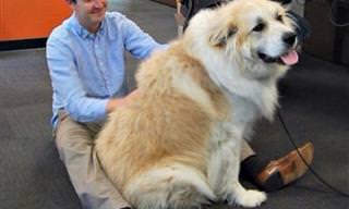 Esses Cães Não Sabem o Quão Enormes Eles São