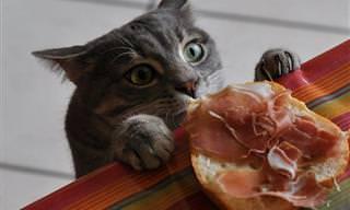 Alguns Gatos só Têm Olhos Para o Seu Almoço ou Jantar