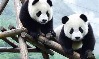 Bem-Vindos à Reserva Natural de Pandas-Gigantes na China!