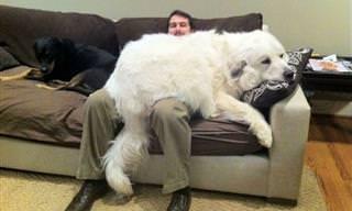 Cachorros grandes também gostam de carinho!