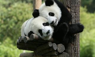 30 Curiosidades Sobre os Pandas Que Você Não Sabia