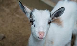 Filhotes de cabra: os animais mais fofinhos de uma fazenda!