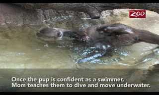 Como as Bebês Lontras Aprendem a Nadar?
