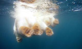 Que tal nadar junto com um urso polar?