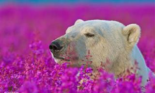 Ursos polares brincando nos campos floridos