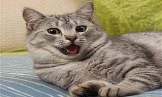O Que os Gatos Estão Tentando Dizer