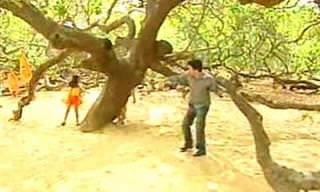 O cajueiro de Pirangi - Uma árvore muito especial!