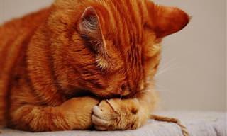 Saiba Como Usar Óleos Essenciais Sem Fazer Mal ao Seu Gato