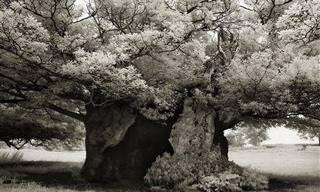 Belíssimas Árvores Antigas