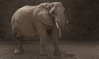 Conto Emocionante: O Elefante Acorrentado