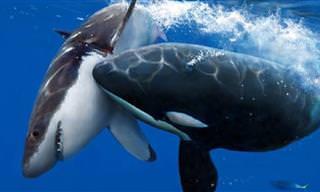 Orcas: Os predadores mais temidos dos oceanos