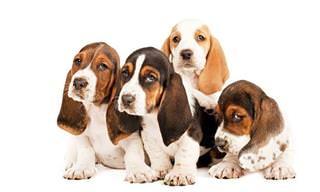 Adoráveis cachorrinhos com seis semanas