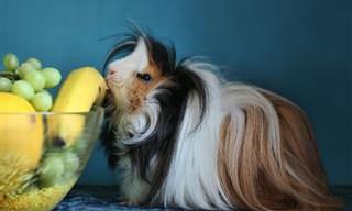 Derreta Seu Coração Com Esses Adoráveis Porquinhos-da-Índia