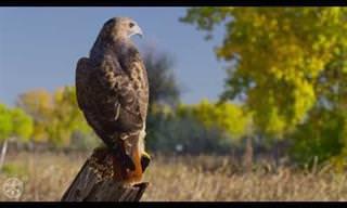 Faça um Voo em Alta Definição Com Estas Aves de Rapina