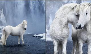 Conheça os cavalos dos contos de fadas da Islândia