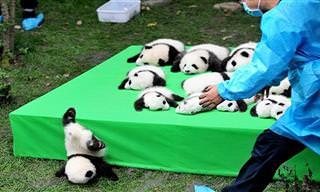 Apaixone-se pelos fofos ursos panda!