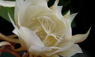 10 Lindas Flores Que Desabrocham à Noite