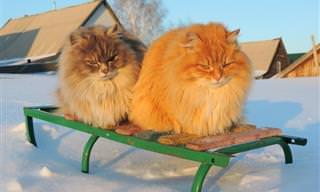 Veja os Lindos Gatos Siberianos Que Habitam Uma Fazenda Russa