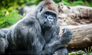 Hilário: Quando Um Gorila e um Leão se Enfrentam...