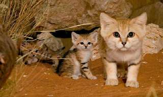 Conheça o Lindo Gato do Deserto