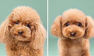 Antes e Depois: Divertidos Cortes de Cabelo Caninos!