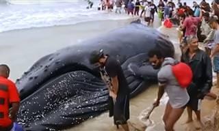O Resgate Emocionante da Baleia Jubarte em Búzios