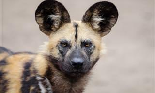 Lindas Fotos de Belos Cães Selvagens em Seu Habitat