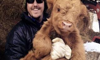 Vacas Que Se Comportam Como Cães